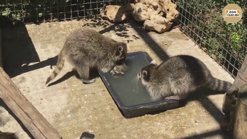 Как еноты детей купают Тайган As raccoons children bathe Taigan