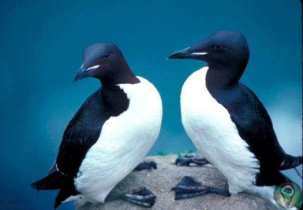 Толстоклювая кайра, или короткоклювая кайра - вид морских птиц из семейства чистиковых Ареал обитания толстоклювой кайры Обитает на скалах и птичьих базарах в Европе и Азии (от Мурманского