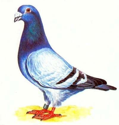 Картинки голуби для детей в детском саду, днем рождения мужчину