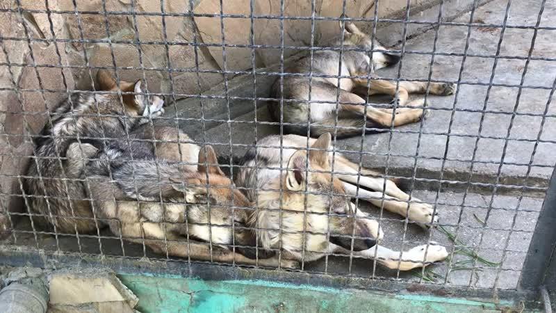 Спасеныши волчата быстро подрастают 30 09 2020