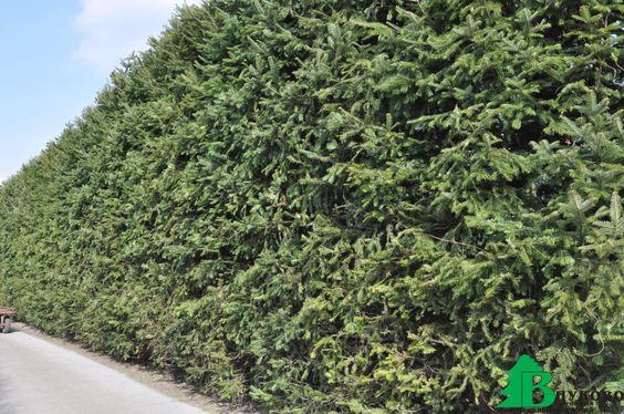 Хвойные растения: советы по подбору и посадке, изображение №5